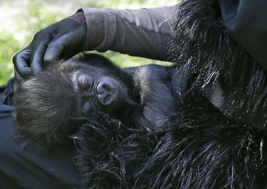 Bedtime for Bonzo.Ashley Chance pets three-month-old Gladys as she sleeps in her lap. Photo: Al Behrman, Associated Press