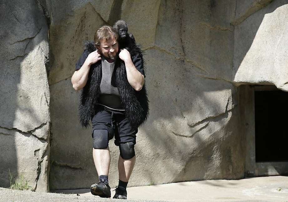 Wearing his favorite Sonny and Cher fur vest, primate center team leader Ron Evans carries Gladys into the outdoor gorilla exhibit for the first time.  Photo: Al Behrman, Associated Press