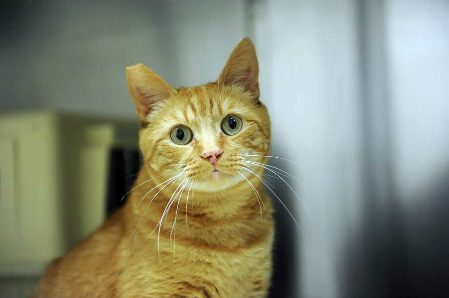 Spencer, a male, domestic short-haired orange Tabby, 4- or 5 -years-old and is very sweet to people and cats.  Spencer is still a little shy of new people but he has come a long way from when he came to the shelter.  Spencer, along with other cats and dogs, are available for adoption at Greenwich Animal Control, 292 North St. Facility hours are 7:30 a.m. to 3 p.m. The number is 203-622-8299.  Call ahead first. Photo: Helen Neafsey / Greenwich Time