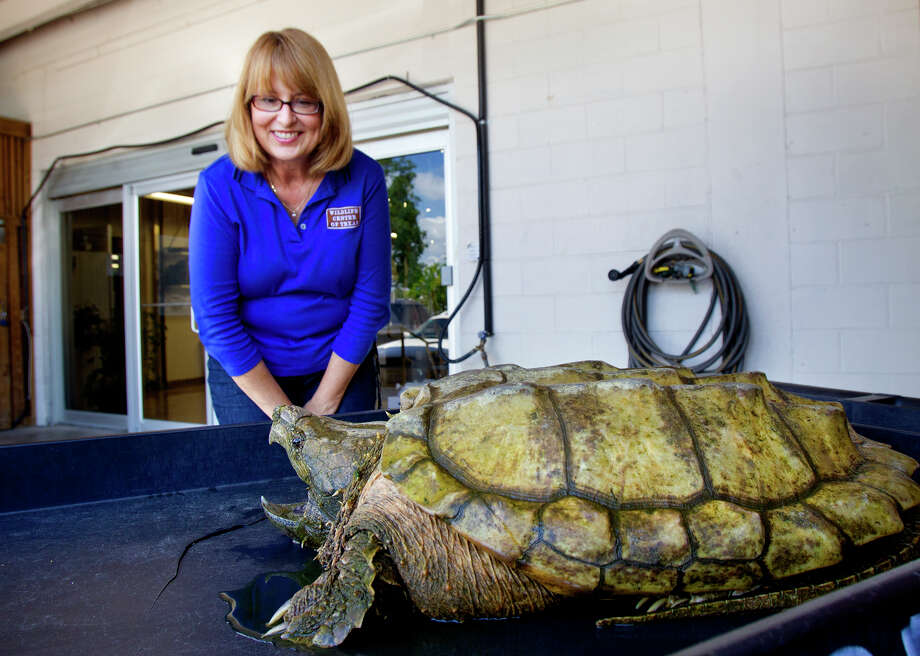 Executive Director of The Wildlife Center of Texas, Sharon Schmalz looks at a large female alligator snapping turtle at The Wildlife Center of Texas, Tuesday, April 30, 2013, in Houston. The turtle was found in a deep ravine along Buffalo Bayou with two fish hooks stuck in her, one embedded in her cheek and the other in her throat. The turtle is being released tomorrow after she underwent X-rays and surgery at Texas A&M School of Veterinary Medicine. Photo: Cody Duty, Houston Chronicle / © 2013 Houston Chronicle