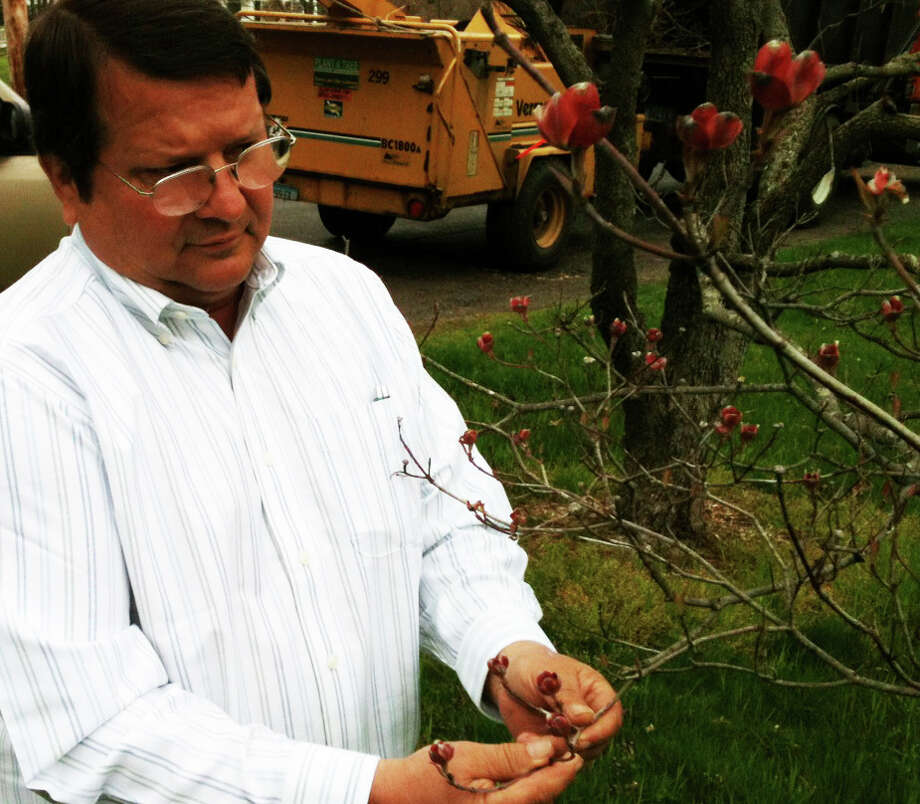 Town Tree Warden Kenneth Placko inspects buds on a dogwood tree Monday near the grounds of the Greenfield Hill Congregational Church, where the annual Dogwood Festival is planned this weekend.  FAIRFIELD CITIZEN, CT 4/29/13 Photo: Andrew Brophy / Fairfield Citizen contributed