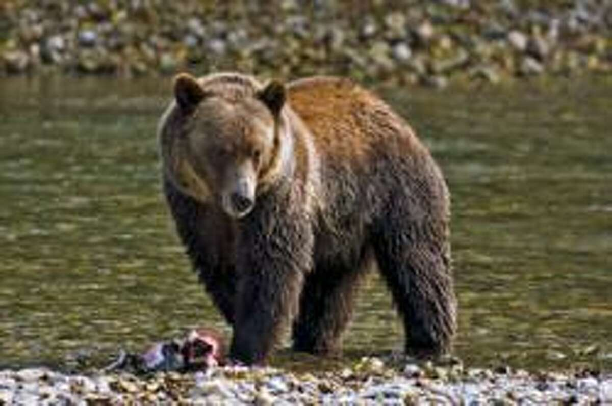 Coming back to the North Cascades? The grizzly bear. U.S. Interior Secretary Ryan Zinke says it would be