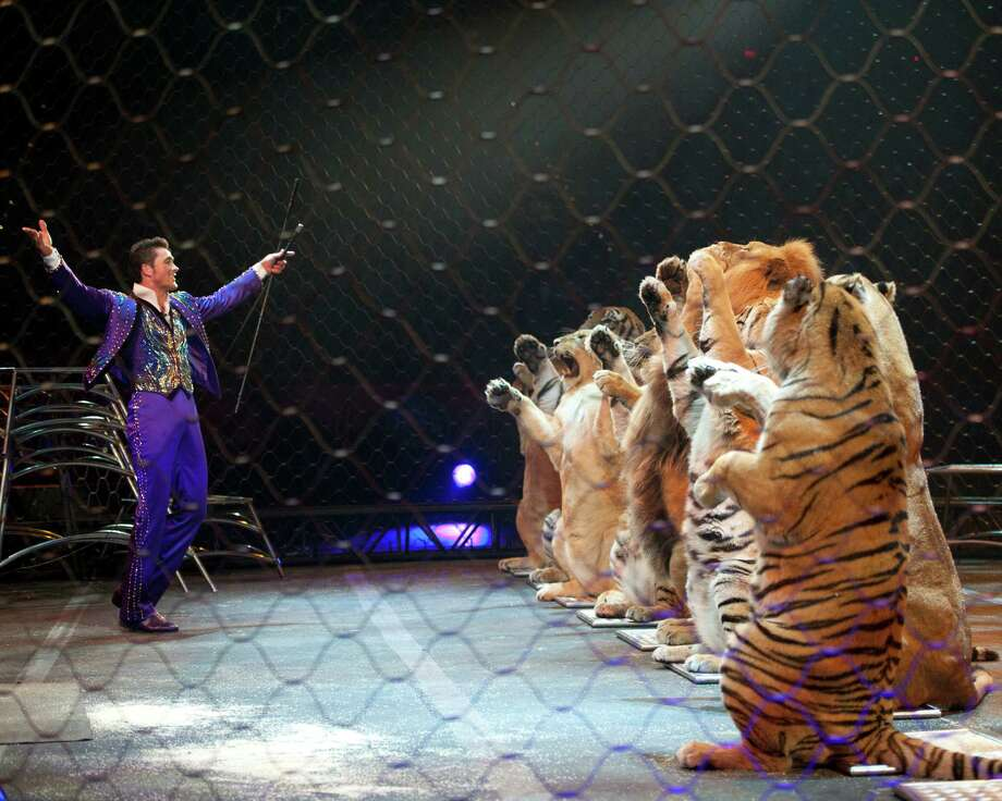 Alexander Lacey works with tigers (Courtesy Ringling Bros. and Barnum & Bailey)