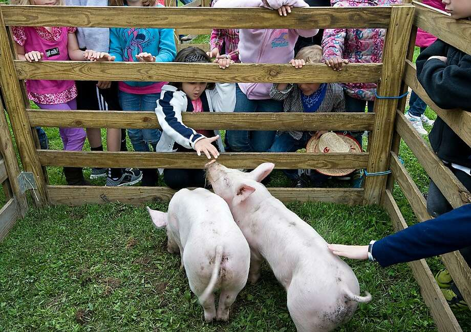"Here are a couple of bone-in Virginia hams, kids: Keister Elementary School students pet 3-month-old pigs from a northern Virginia farm during Farming in the City in Harrisonburg, Va. The event gives kids a chance ""to see where their food comes from."" Photo: Nikki Fox, Associated Press"