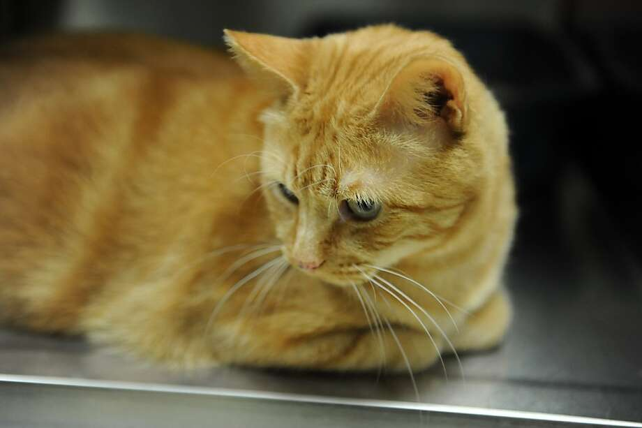 Spencer for hire: Greenwich Animal Control in Greenwich, Conn., describes Spencer the orange tabby as shy but very sweet to people and cats. Somebody needs to adopt him immediately. Photo: Helen Neafsey, Connecticut Post