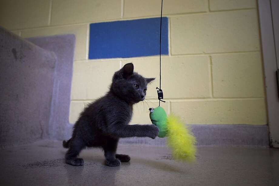 Eliza, a 2-month-old kitten, plays at the East Bay SPCA in Oakland.