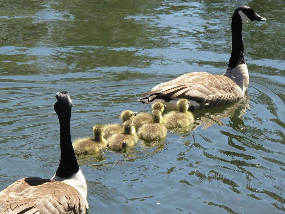 Goslings follow a goose in the pond at Mead Park. May 1, 2013. New Canaan, Conn. Photo: Tyler Woods
