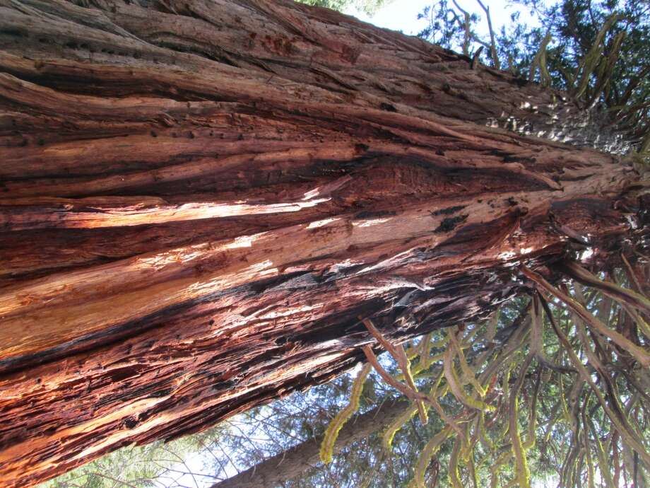 A massive cedar is on the right side at road's end
