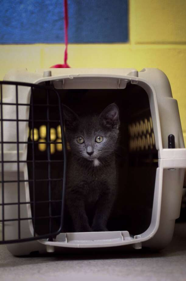 """Eliza"" a two month old kitten, peers out from her cage at the East Bay SPCA in Oakland, Calif. on Thursday April 25, 2013. Organizers with  group, The Great Wall of Oakland are putting together a Cat Video Festival, an art and cat extravaganza on Saturday May 11, 2013, benefitting the East Bay SPCA. Cat videos will also be projected onto a one hundred foot wall."