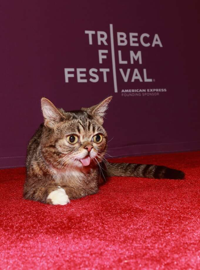 "Celebrity internet cat Lil Bub attends the ""Lil Bub & Friendz"" world premiere during the 2013 Tribeca Film Festival on April 18, 2013 in New York City."