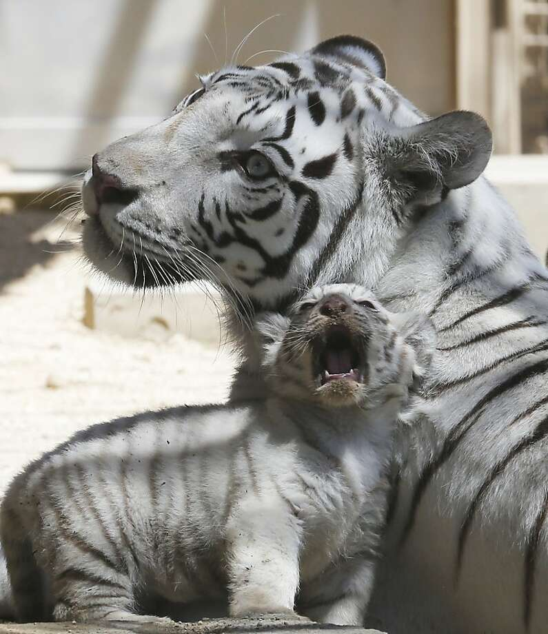 The mouth that roared: White tiger cubs are apparently not as laid-back as their Malaysian cousins. (Tobu Zoo in Miyashiro, Japan.) Photo: Koji Sasahara, Associated Press