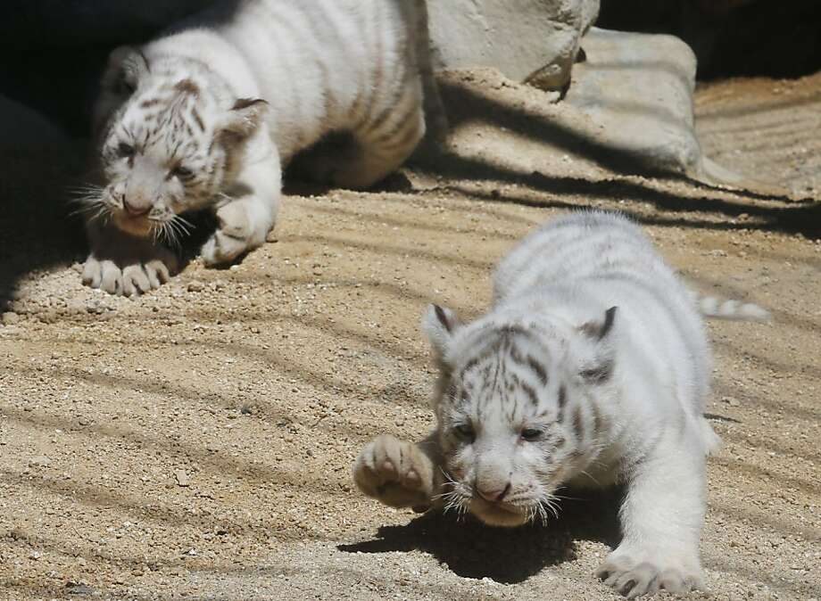 My paws are so heavyyyy. White tiger cubs explore their enclosure in their first public appearance at Tobu Zoo in Miyashoro, near Tokyo. Photo: Koji Sasahara, Associated Press
