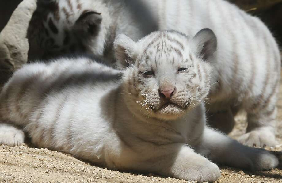 The sun makes me so warm and sleepyZZZzzz... A white tiger cubs sits enjoys the sun at Tobu Zoo. Photo: Koji Sasahara, Associated Press
