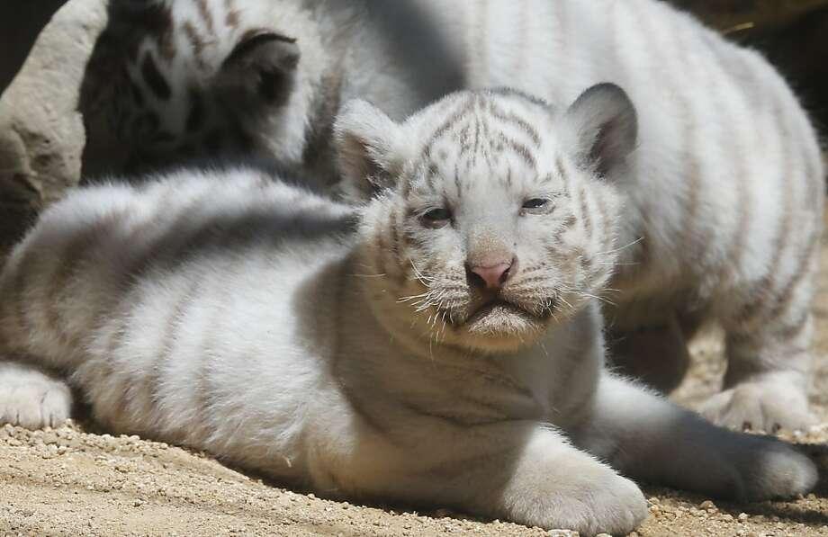 The sun makes me so warm and sleepyZZZzzz...A white tiger cubs sits enjoys the sun at Tobu Zoo. Photo: Koji Sasahara, Associated Press