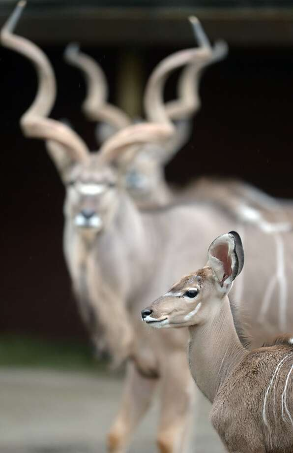 Someday I'll have giant corkscrews on my head too. A young kudu antilope is pictured in her enclosure at the zoo in Duisburg, western Germany. Photo: Federico Gambarini, AFP/Getty Images