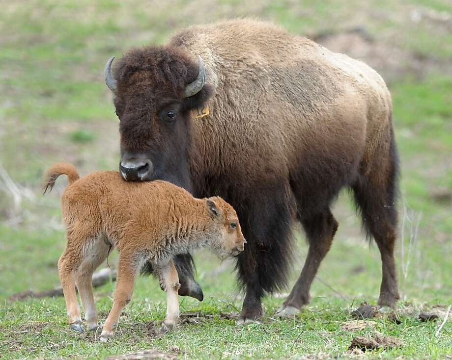 Woah, I am NOT a buffalo burger. A member of the herd gives a newborn bison calf a nibble. The herd lives on a nature preserve in Pennsylvania.  Photo: Matt Smith, Associated Press