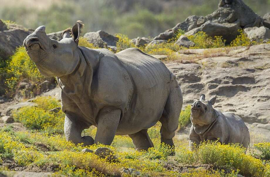 And always keep your head held high.Shomili, a four-and-a-half-month-old greater one-horned rhino, adopts the cocky pose of mom Sundari. The pair live in the 40-acre Asian Savanna habitat at the San Diego Zoo. Photo: Ken Bohn, AFP/Getty Images