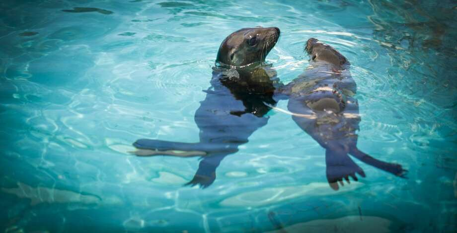 Two of three sea lion pups found during a Unusual Mortality Event that has been taking place since January in Southern California and are being cared for at Six Flags Discovery Kingdom in Vallejo, Calif., swim in a quarantine area on Thursday, May 2, 2013.  They are one of three of the few survivors among over a thousand that have stranded.  The cause is being investigated by the NOAA.