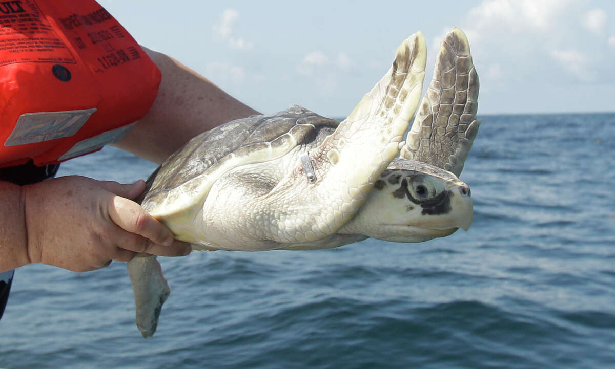 Dr. Kimberly Reich, director of the Sea Life Facility at Texas A&M at Galveston, releases a rescued Kemp's ridley sea turtle about 24 miles offshore in May 2012.