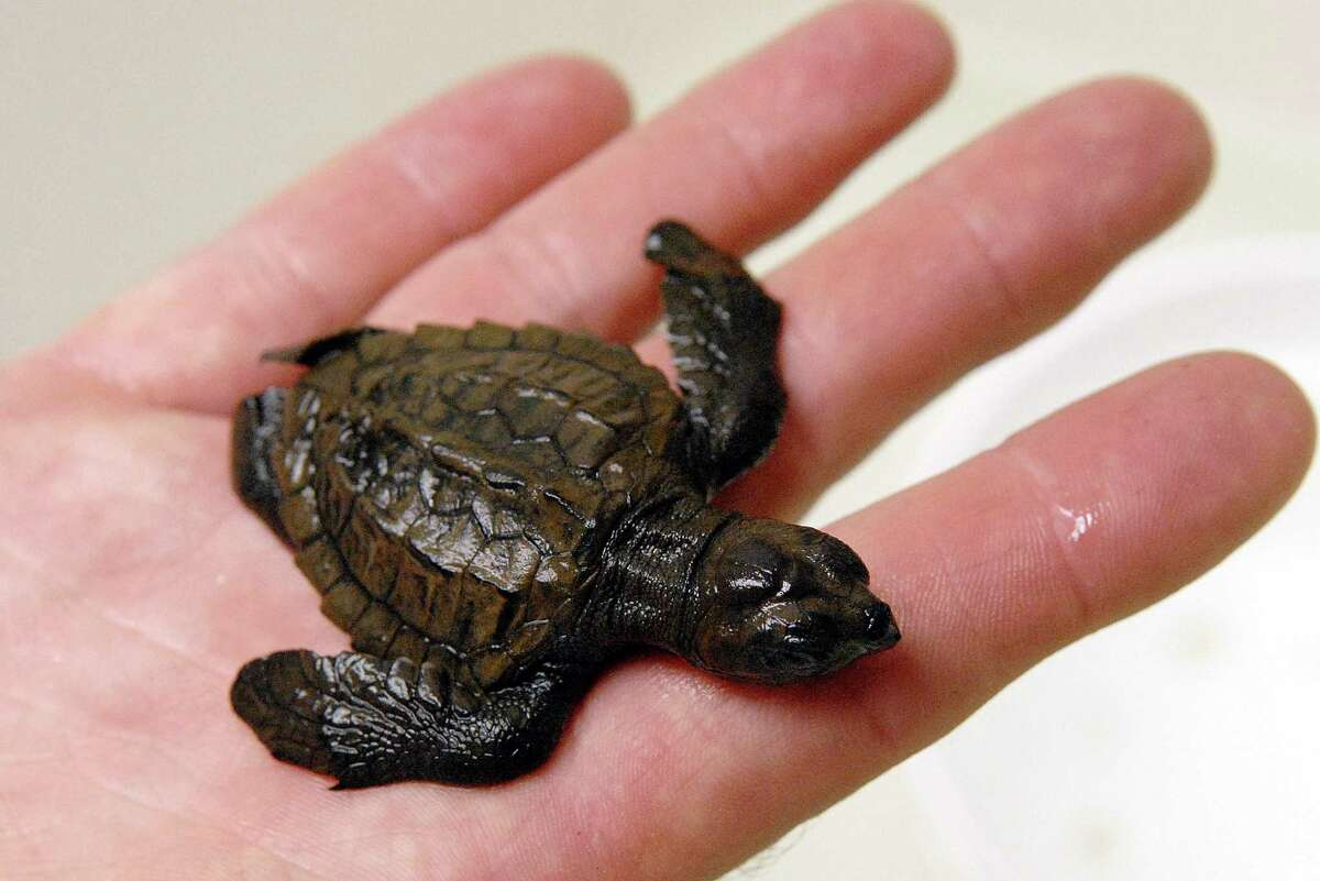 Kemp's ridley turtles, like this one, were on the brink of extinction. Now, they're making a comeback.