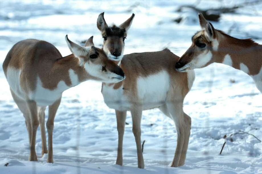 Pronghorn antelopes stand in their snow covered range at Connecticut's Beardsley Zoo, in Bridgeport, Conn. Jan. 4th, 2010. Photo: Ned Gerard / Connecticut Post