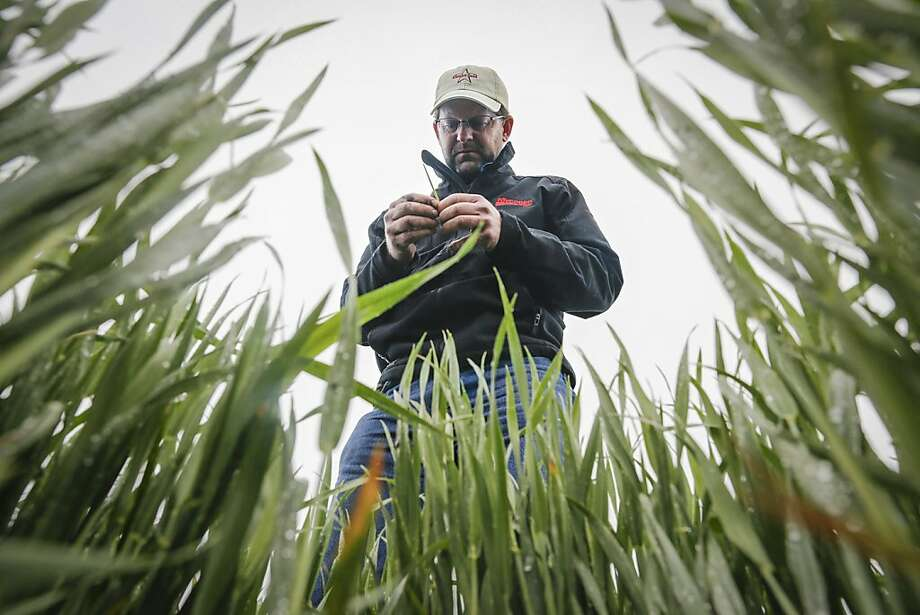 Ben McClure, a farmer from Hugoton, examines a wheat stalk in a Reno County, Kan., wheat field. McClure was taking part in the State's annual wheat tour to assess condition of the crop.  Photo: Travis Heying, Associated Press
