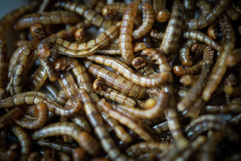 A dish of worms are displayed in the restaurant 'Aphrodite' run by French chef David Faure on May 2, 2013 in Nice, France. Crickets and worms as produce for culinary requirements cost up to 1250 euros per kilogramme on May 2, 2013 in Nice, France. Faure's restaurant, renowned for it's innovative and inventive cuisine, has been awarded one star in the Michelin Guide. Photo: Didier Baverel, Getty / 2013 Didier Baverel