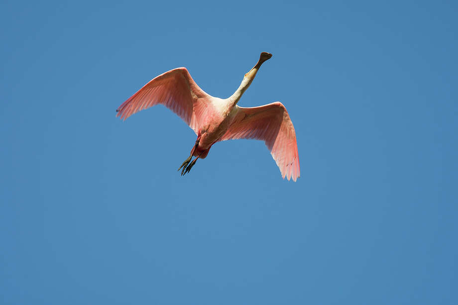 Often mistaken for a flamingo, roseate spoonbills are bright pink with a spatula-shaped bill.  Look for them in shallow water along the coast.  Photo Credit:  Kathy Adams Clark.  Restricted use. Photo: Kathy Adams Clark / Kathy Adams Clark/KAC Productions