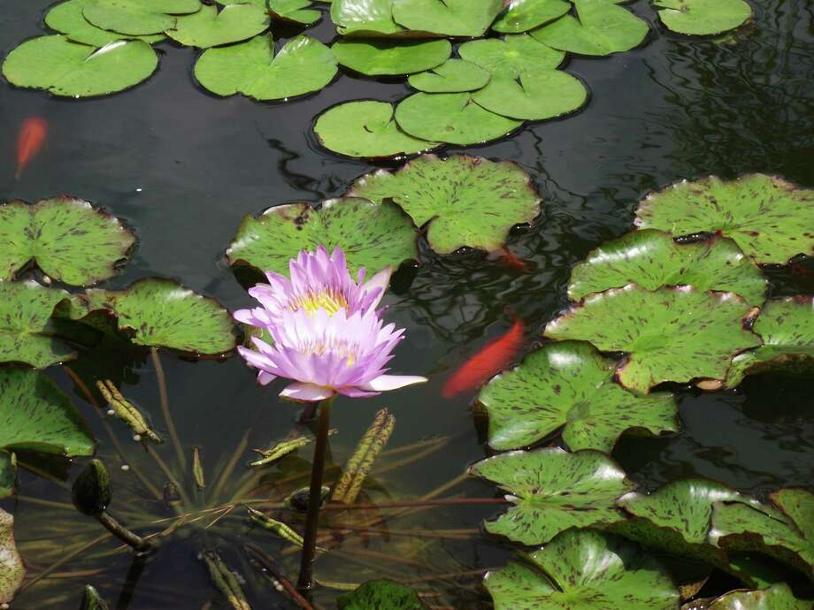 Twenty gardens will be featured in the 2013 Water Garden and Pond Tour.