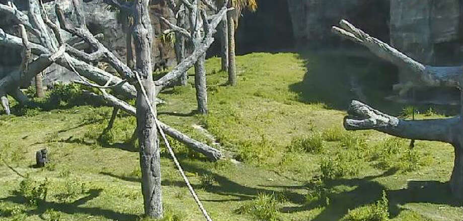 The recent view from the Houston Zoo's chimp cam.