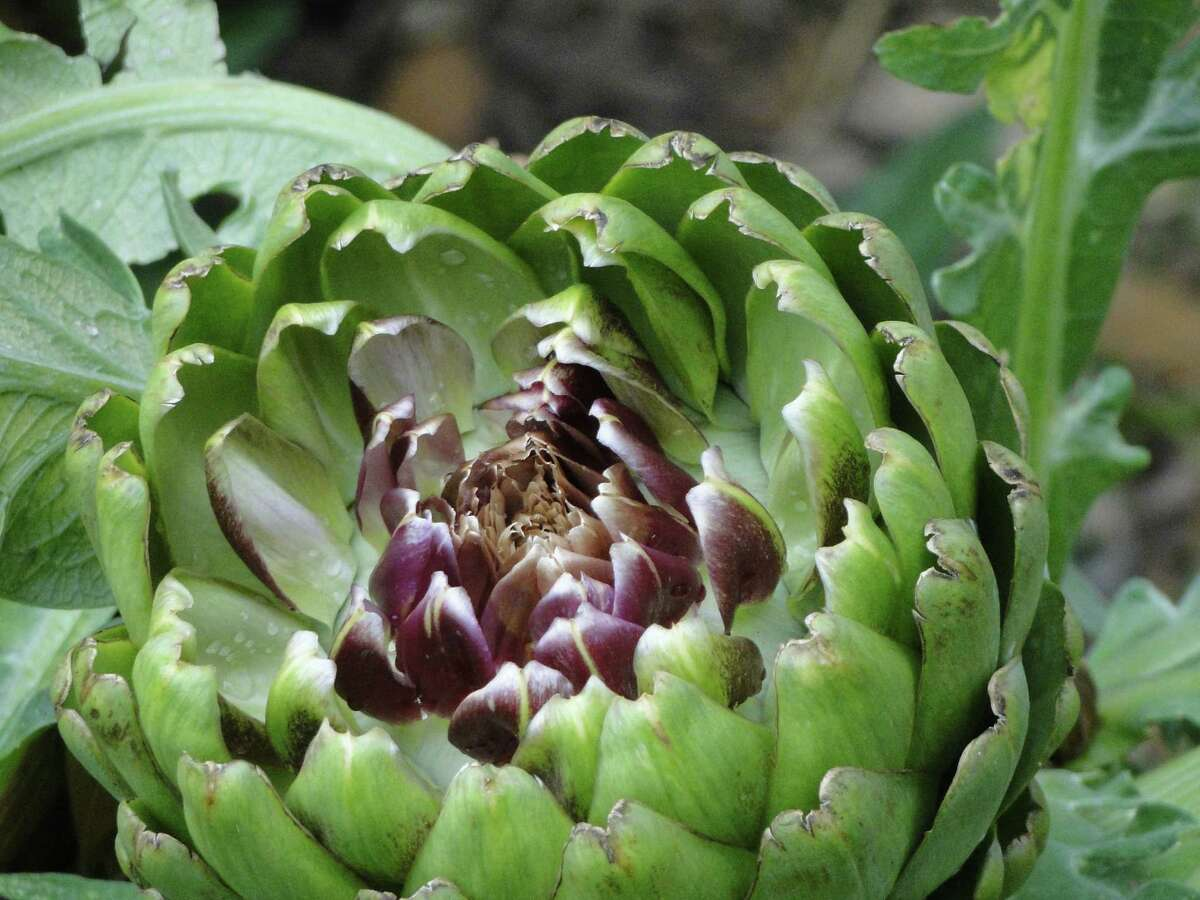 Artichokes are among the plants thriving in the so-far cooler and wet weather.