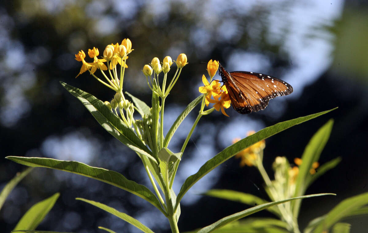 Tropical milkweed is a nectar plant for monarch butterflies and a vital food source for monarch caterpillars.