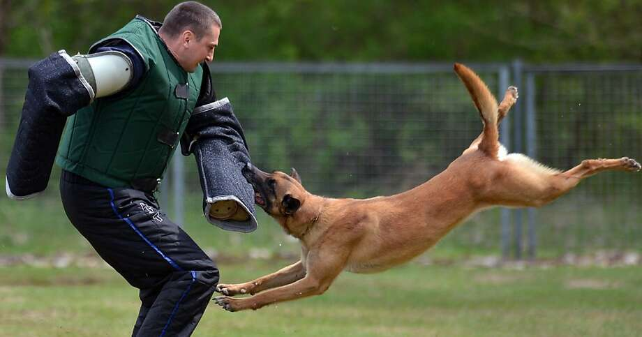 Crunch! A dog trainer works on a recruit's biting technique at a police canine unit school in Bad 