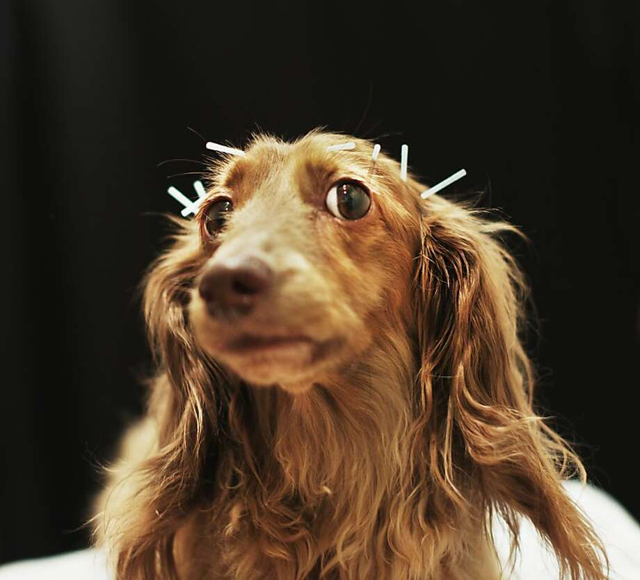 Voodoo medicine? Don't call Chocolate a pinhead, even though technically she is one, what with all the pins sticking out of her head. The miniature dachshund is undergoing acupuncture therapy to ease the pain of a herniated lumbar disk at an animal hospital in Tokyo. Photo: Adam Pretty, Getty Images