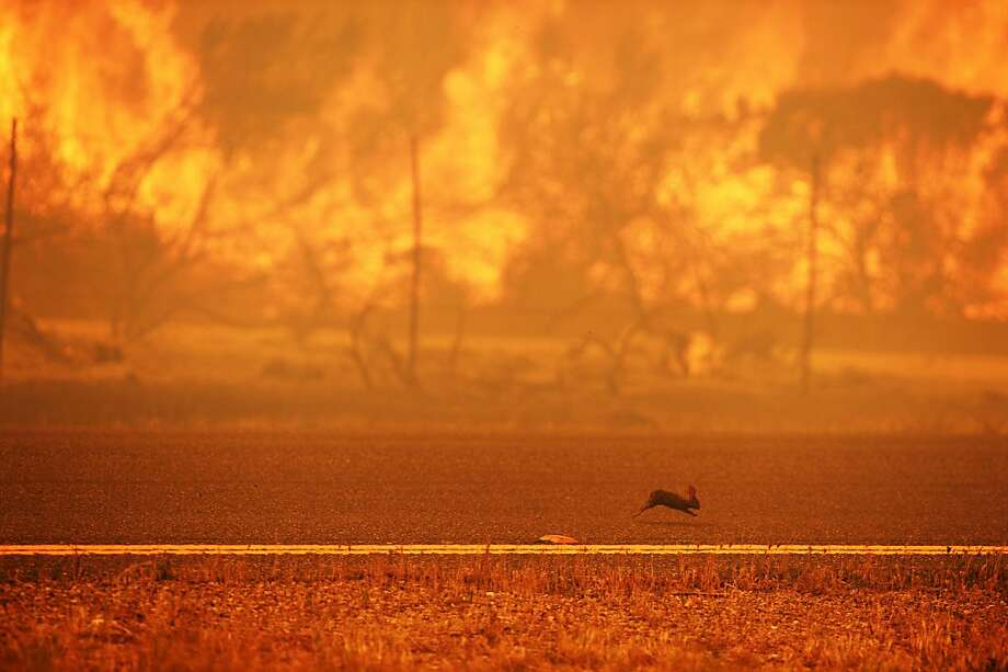 A rabbit runs from a wildfire buffeted by shifting winds that is raging along the Pacific Coast Highway near Point Mugu State Park in Ventura County. Photo: Robyn Beck, AFP/Getty Images