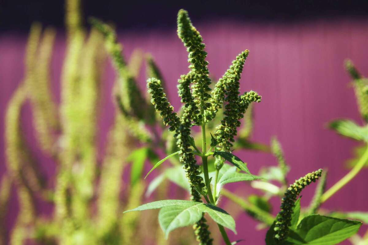 Ragweed allergy will continue for another month.