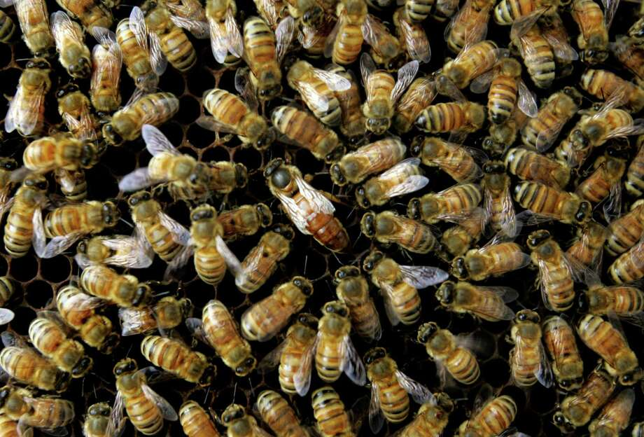 This April 25, 2007 file photo shows a colony of honeybees at the Agriculture Department's Bee Research Laboratory in Beltsville, Md. A new federal report blames a combination of problems for a mysterious and dramatic disappearance of U.S. honeybees since 2006. The factors cited include a parasitic mite, multiple viruses, bacteria, poor nutrition and pesticides. Experts say having so many causes makes it harder to do something about what's called colony collapse disorder. The disorder has caused as much as one-third of the nation's bees to just disappear over the winter each year since 2006. The report was issued Thursday by the Agriculture Department and the Environmental Protection Agency. Photo: AP