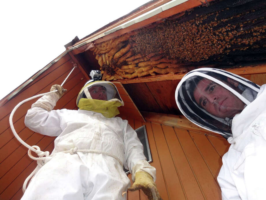 In this early April 2013 photo provided by Ogden beekeeper Vic Bachman, Bachman, left, and partner Nate Hall prepare to remove a 12-foot-long beehive from an A-frame cabin in Eden, Utah. It was the biggest beehive the Utah beekeepers have ever removed, containing about 60,000 honeybees. (AP Photo/Courtesy Vic Bachman) Photo: Uncredited