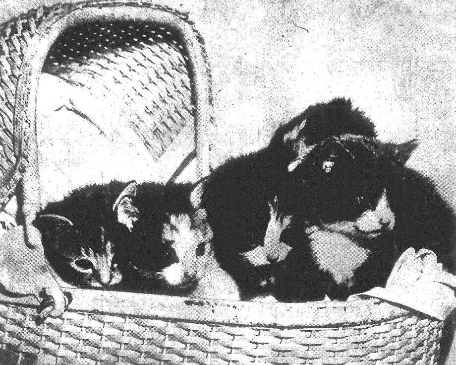 Four kittens with a single thought (in this case a mouse) are these young felines belonging to Light Photographer Mel Koenning. Mel caught the quadruplets as they were eyeing a deceased rodent just removed from a trap. Wide-eyed, they are sizing up Mr. Mouse, and find him HUGE. Published in the San Antonio Light May 19, 1953. Photo: File Photo