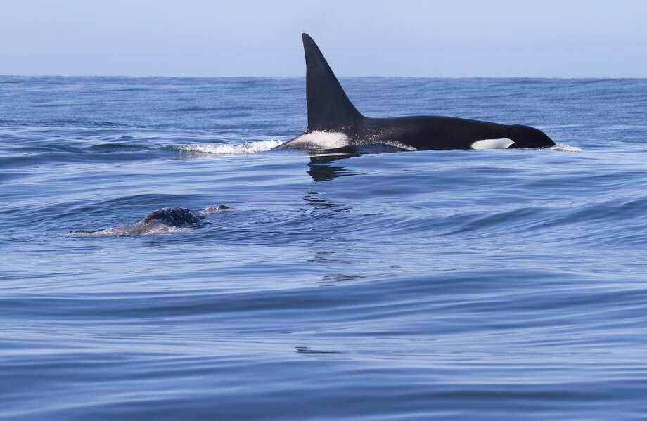 CA 20, a male transient killer whale, floats with the remains of a gray whale calf carcass on April 27, 2013 in Monterey Bay, Calif.
