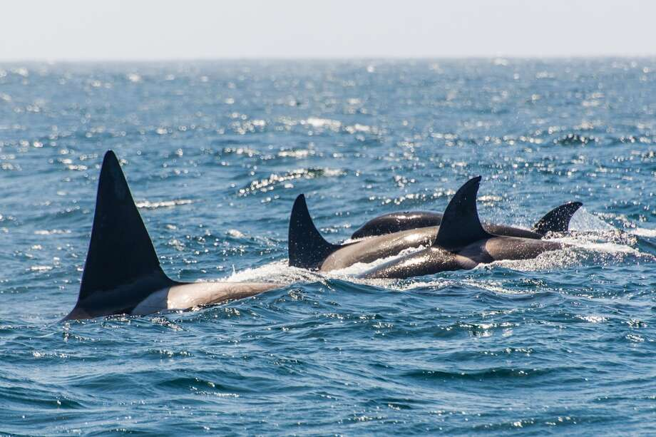 Killer whales hunt gray whale calves on their migratory route north off the coast of Northern California.