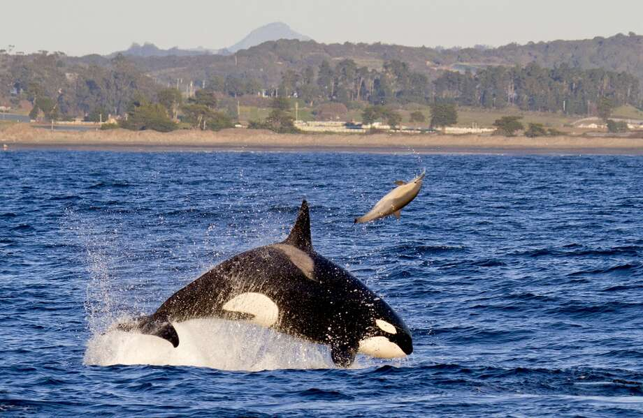 Female Orca CA138 tosses the common dolphin she is hunting into the air in Monterey Bay, Calif.