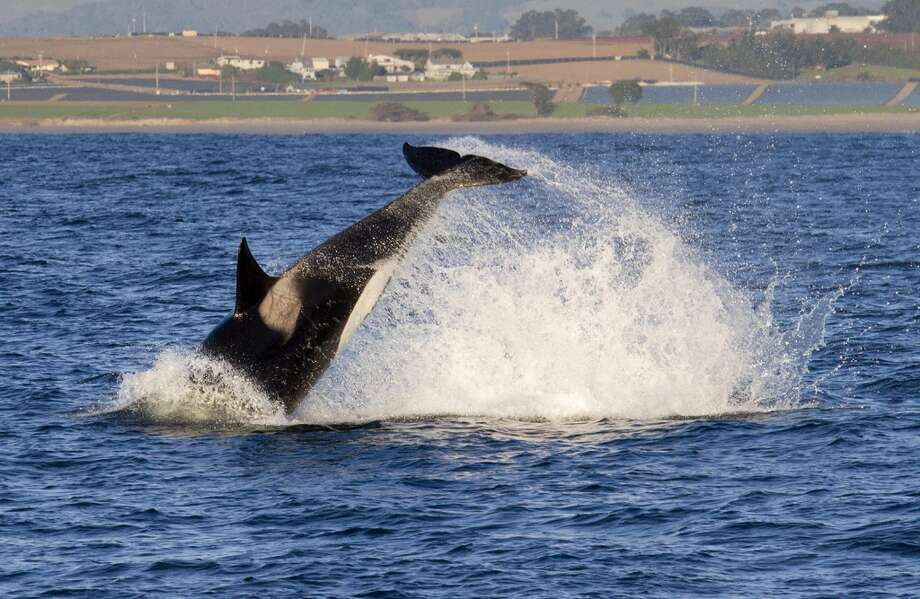 Female Orca CA138 performs a tail throw (or tail lob) most likely in an effort to stun the common dolphin she is hunting in Monterey Bay, Calif.