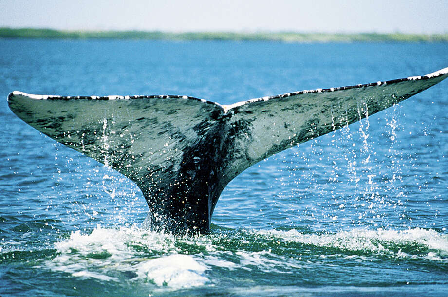 A file photo of gray whales migrating along the coast between the Bering Sea and Baja California find Monterey Bay makes an attractive pit stop. Photo: Paul Ratcliffe, OceanFriendsImages.com / ONLINE_YES