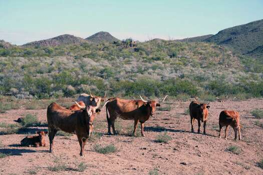 Longhorns at Big Bend State Ranch. Photo: Texas Parks And Wildlife