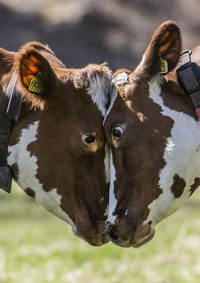 You're going down, Bessie:Eat cow pie and die, Clarabell. (Bovine challenge during the traditional spring   release of cows at a farm in the Stockholm suburb of Huddinge.)   Photo: Klara Westblom, Associated Press