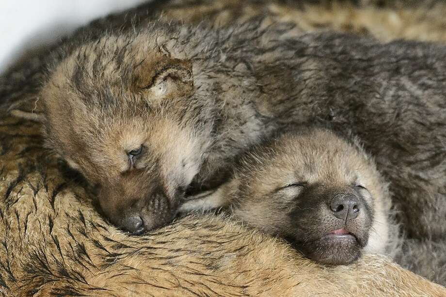 Wolf pack? More like packed wolves: Under these stacked 1-month-old pups lies their mother, Mara, in the Zoo de 