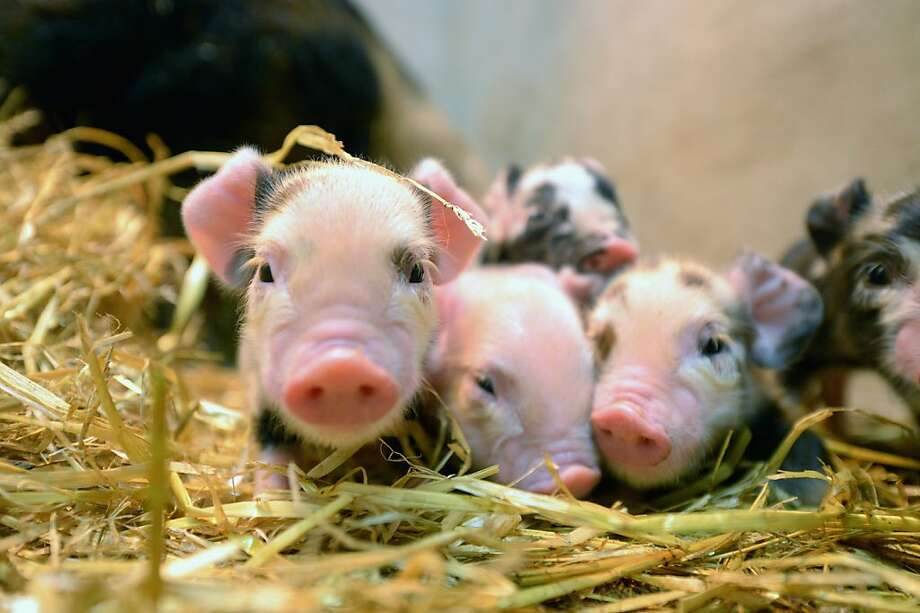 Baling swine: Newborn Kunekune pigs huddle in the hay for warmth at the School of Veterinary Medicine, University of Glasgow. Photo: Jeff J Mitchell, Getty Images