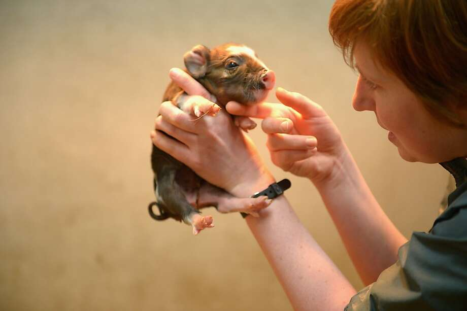 Gootchy goo: Baby Kunekune piglets love to be scratched on the hair of their chinny chin chins. (School of Veterinary Medicine at the University of Glasgow.) Photo: Jeff J Mitchell, Getty Images