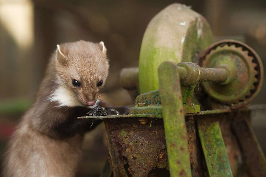 Pump goes the weasel: Besides otters, one will occasionally find a beech marten at the otter center in Hankensbuettel, Germany. This one appears to sniffing something dead on a piece of machinery. Photo: Sebastian Kahnert, AFP/Getty Images